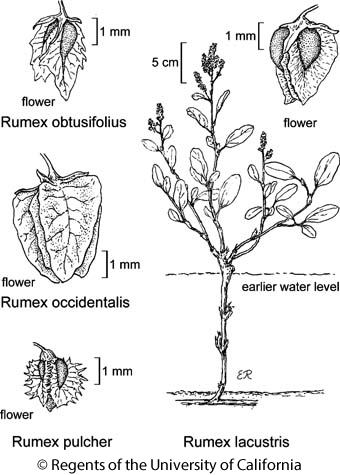 botanical illustration including Rumex obtusifolius