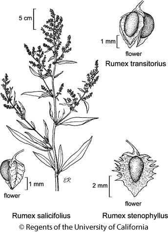 botanical illustration including Rumex stenophyllus