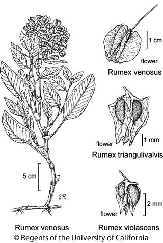 botanical illustration including Rumex venosus
