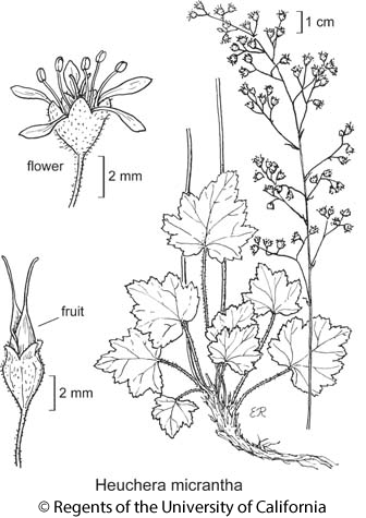 botanical illustration including Heuchera micrantha