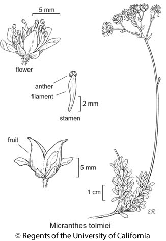 botanical illustration including Micranthes tolmiei