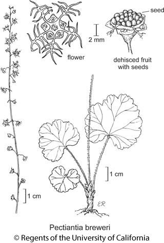 botanical illustration including Pectiantia breweri