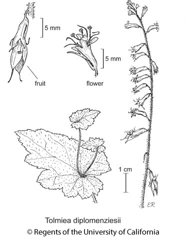 botanical illustration including Tolmiea diplomenziesii