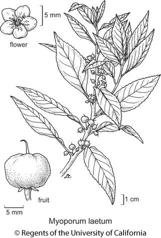 botanical illustration including Myoporum laetum