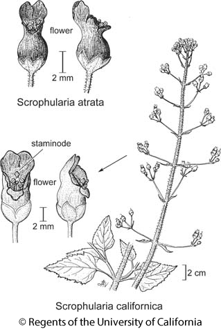 botanical illustration including Scrophularia californica