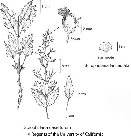 botanical illustration including Scrophularia desertorum