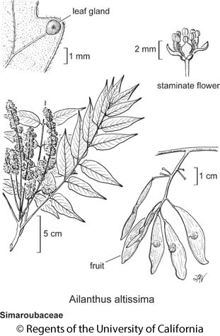 botanical illustration including Ailanthus altissima