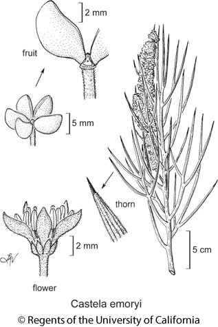 botanical illustration including Castela emoryi