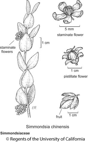 botanical illustration including Simmondsia chinensis