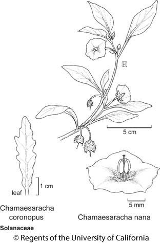 botanical illustration including Chamaesaracha coronopus