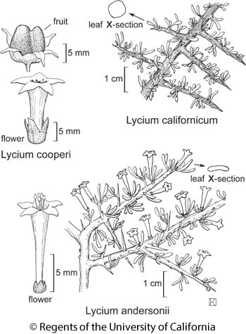 botanical illustration including Lycium andersonii