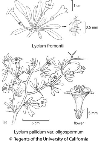 botanical illustration including Lycium pallidum var. oligospermum