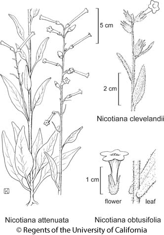 botanical illustration including Nicotiana clevelandii