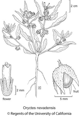 botanical illustration including Oryctes nevadensis