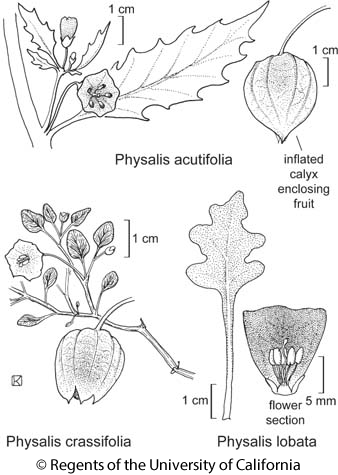 botanical illustration including Physalis lobata