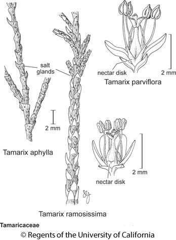 botanical illustration including Tamarix parviflora