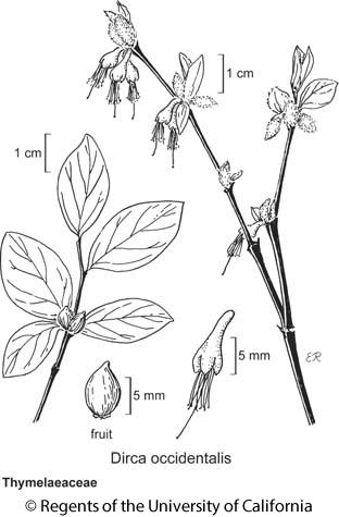 botanical illustration including Dirca occidentalis