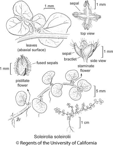 botanical illustration including Soleirolia soleirolii