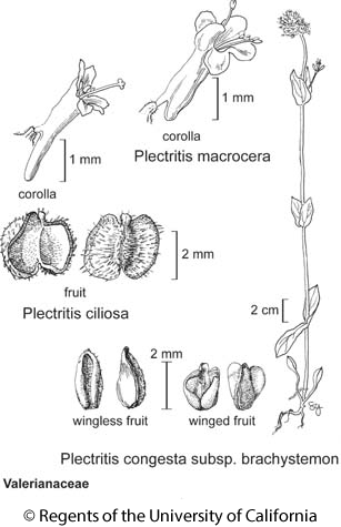 botanical illustration including Plectritis macrocera
