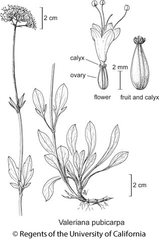 botanical illustration including Valeriana pubicarpa