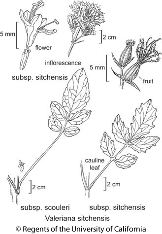 botanical illustration including Valeriana sitchensis subsp. scouleri