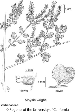 botanical illustration including Aloysia wrightii