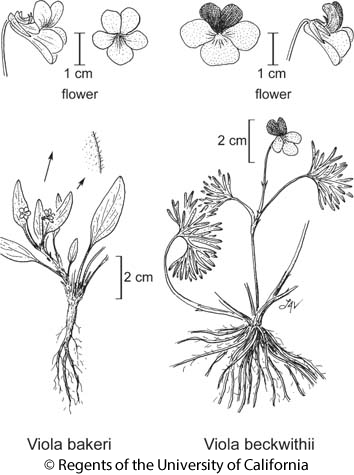 botanical illustration including Viola bakeri