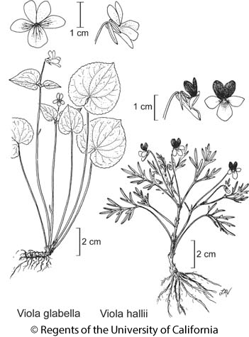 botanical illustration including Viola glabella