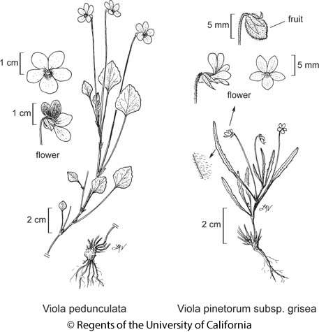 botanical illustration including Viola pinetorum subsp. grisea