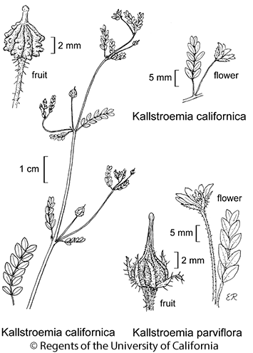 botanical illustration including Kallstroemia californica