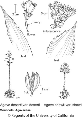 botanical illustration including Agave shawii var. shawii
