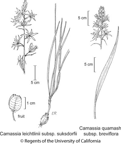 botanical illustration including Camassia leichtlinii subsp. suksdorfii