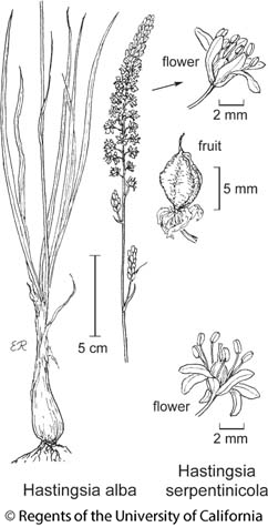 botanical illustration including Hastingsia alba