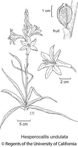 botanical illustration including Hesperocallis undulata