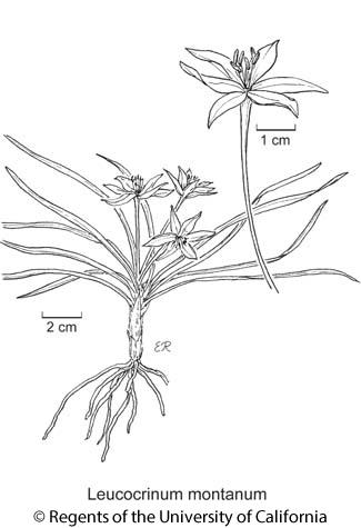 botanical illustration including Leucocrinum montanum