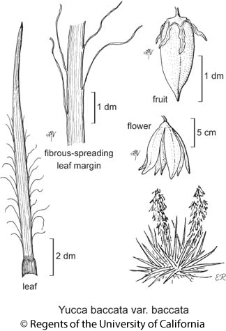 botanical illustration including Yucca baccata var. baccata