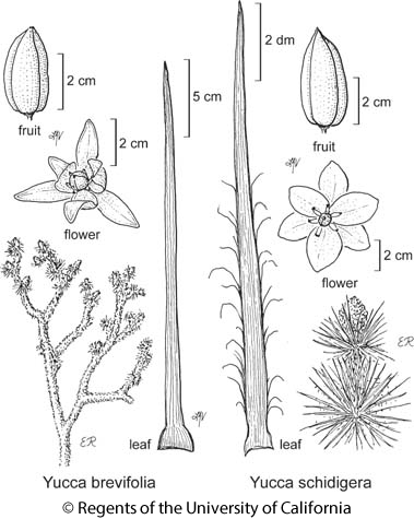 botanical illustration including Yucca schidigera