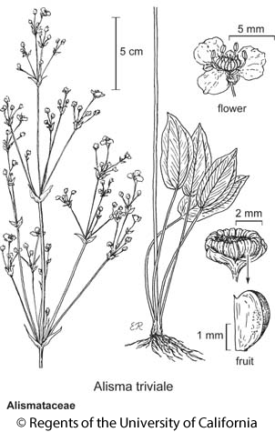 botanical illustration including Alisma triviale