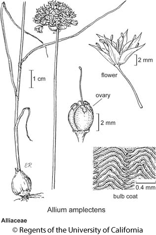 botanical illustration including Allium amplectens