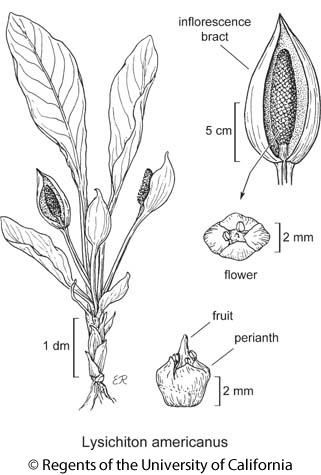 botanical illustration including Lysichiton americanus