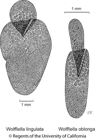 botanical illustration including Wolffiella oblonga