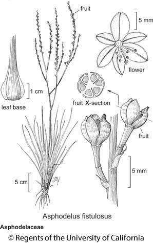 botanical illustration including Asphodelus fistulosus