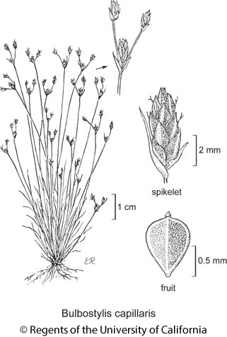 botanical illustration including Bulbostylis capillaris