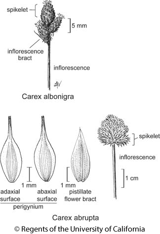 botanical illustration including Carex abrupta