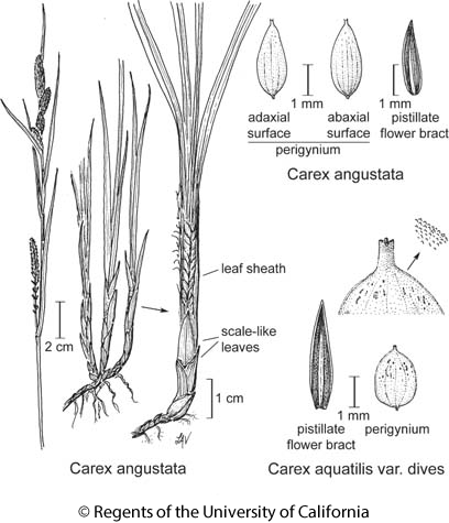 botanical illustration including Carex angustata