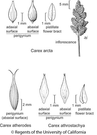 botanical illustration including Carex athrostachya