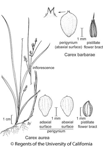 botanical illustration including Carex aurea