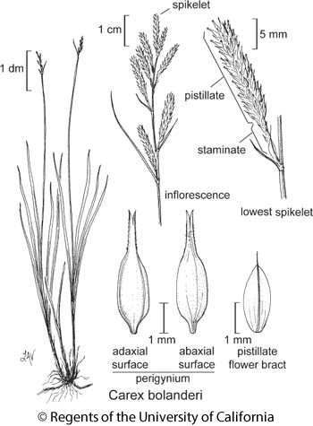 botanical illustration including Carex bolanderi