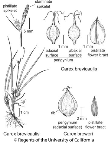 botanical illustration including Carex brevicaulis