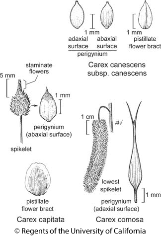 botanical illustration including Carex comosa
